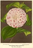 Madame Ambroise Verschaffelt