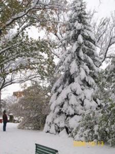 Jack Pine in Crescent Park, Moose Jaw