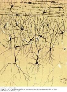 Neurone in die olfaktoriese korteks