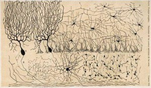 Serebellêre neurone