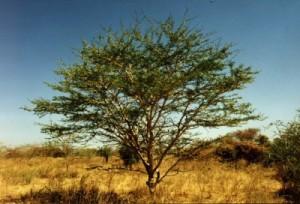 Acacia Robusta of Enkeldoring.