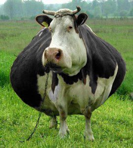 fat-cow-copy