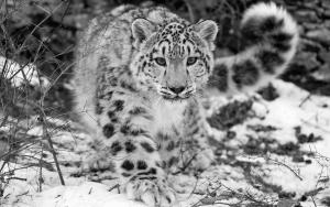 snow-leopard-17